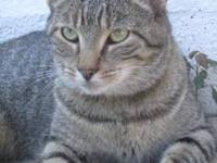 Domestic Short Hair - Jerico - Medium - Adult - Male -