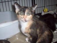 Domestic Short Hair - Jessie - Medium - Baby - Female -
