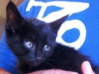 Domestic Short Hair - Jessie - Medium - Baby - Male -