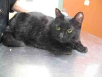 Domestic Short Hair - Jet - Medium - Adult - Female -