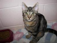 Domestic Short Hair - Jill - Small - Young - Female -
