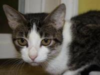Domestic Short Hair - Jj - Medium - Young - Female -
