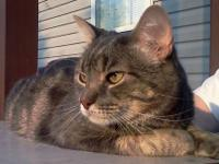 Domestic Short Hair - Joey - Medium - Adult - Male -