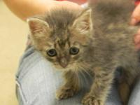 Domestic Short Hair - John - Small - Young - Male -