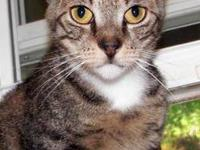 Domestic Short Hair - Johnny - Medium - Adult - Male -
