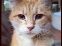 Domestic Short Hair - Jolene - Small - Adult - Female -