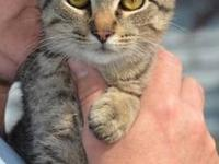 Domestic Short Hair - Joshua - Medium - Baby - Male -