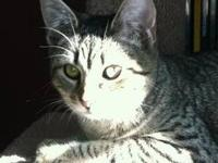 Domestic Short Hair - Josie - Medium - Baby - Female -