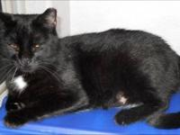 Domestic Short Hair - Juliet - Medium - Adult - Female