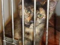 Domestic Short Hair - June - Medium - Baby - Female -