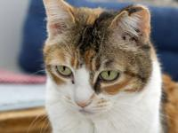 Domestic Short Hair - Kalina Felv+ - Medium - Adult -