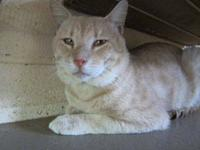 Domestic Short Hair - Kanobe - Medium - Adult - Male -