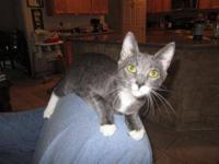 Domestic Short Hair - Karlyn - Small - Baby - Male -