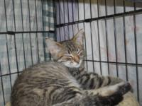 Domestic Short Hair - Karma - Medium - Young - Female -