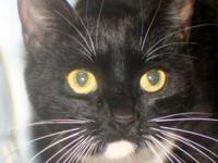 Domestic Short Hair - Kat - Medium - Young - Female -