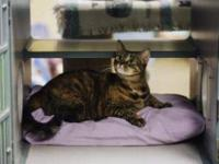 Domestic Short Hair - Kat - Small - Young - Female -