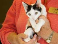 Domestic Short Hair - Kate - Small - Baby - Female -