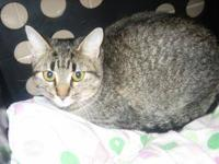 Domestic Short Hair - Kayla - Medium - Adult - Female -