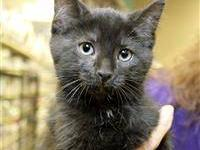 Domestic Short Hair - Keates - Small - Baby - Male -