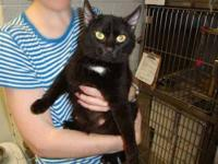 Domestic Short Hair - Keira - Medium - Young - Female -