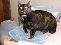Domestic Short Hair - Kellie - Medium - Adult - Female