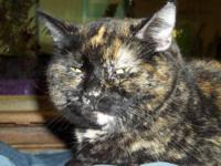 Domestic Short Hair - Kerry - Medium - Adult - Female -