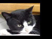 Domestic Short Hair - Kiki - Large - Adult - Female -