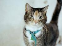Domestic Short Hair - Kinsey - Medium - Baby - Female -