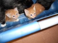 Domestic Short Hair - Kitten 4 - Medium - Baby - Cat