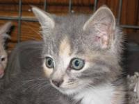 Domestic Short Hair - Kitten - Medium - Baby - Female -