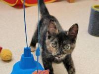 Domestic Short Hair - Kittens - Female - Medium - Baby