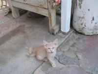 Domestic Short Hair - Kittens, Kittens, And More