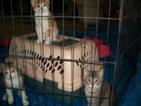 Domestic Short Hair - Kittens! - Medium - Baby - Female