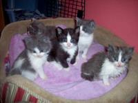 Domestic Short Hair - Kittens - Medium - Baby - Female