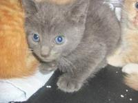 Domestic Short Hair - Kittens - Small - Baby - Female -