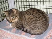 Domestic Short Hair - Kitty - Large - Adult - Female -