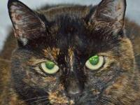Domestic Short Hair - Kk - Small - Young - Female -