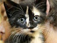 Domestic Short Hair - Krissy - Small - Baby - Female -