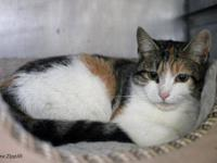 Domestic Short Hair - Lacey - Medium - Adult - Female -