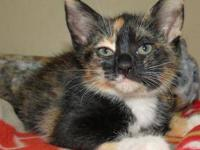 Domestic Short Hair - Lacey - Small - Baby - Female -