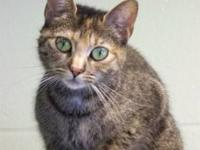 Domestic Short Hair - Lady Godiva - Small - Adult -