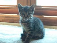 Domestic Short Hair - Lady Jane (kitten) - Small - Baby