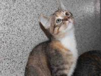 Domestic Short Hair - Layla - Medium - Adult - Female -