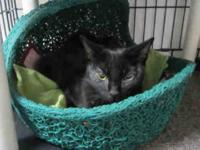 Domestic Short Hair - Lea - Medium - Adult - Female -
