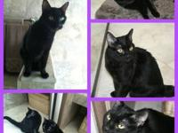 Domestic Short Hair - Leah - Small - Young - Female -