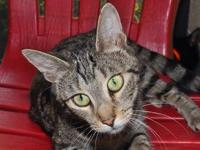 Domestic Short Hair - Leena - Small - Adult - Female -