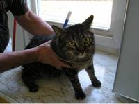 Domestic Short Hair - Lester - Extra Large - Adult -