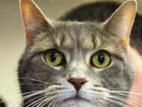 Domestic Short Hair - Lexi - Small - Adult - Female -