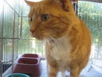 Domestic Short Hair - Lilly - Large - Young - Female -