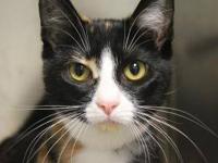 Domestic Short Hair - Lilly - Small - Young - Female -